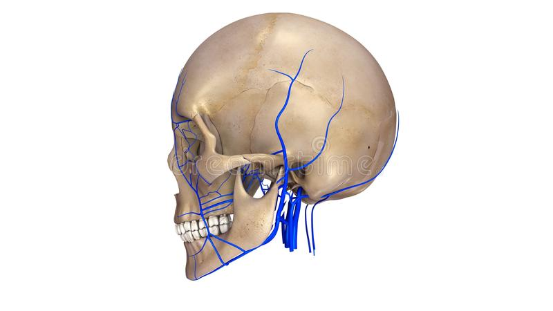 Skull with Veins lateral view stock illustration