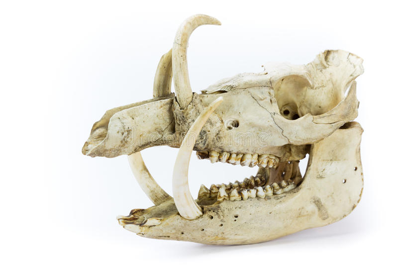 Skull of wild boar stock photo. Image of nature, background - 41787028