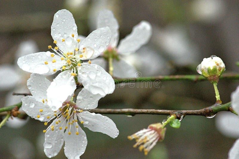 Skummiga vita blommor av lösa Plum Tree - Prunus Domestica arkivfoton