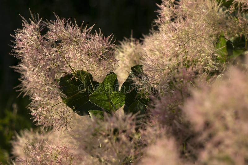 Skumpiya που μαυρίζει το λουλούδι coggygria Cotinus, το ευρωπαϊκό smoketree, ευρασιατικό smoketree, δέντρο καπνού, ο Μπους καπνού στοκ φωτογραφία με δικαίωμα ελεύθερης χρήσης