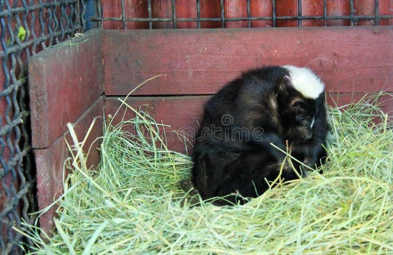 skunk royaltyfri fotografi