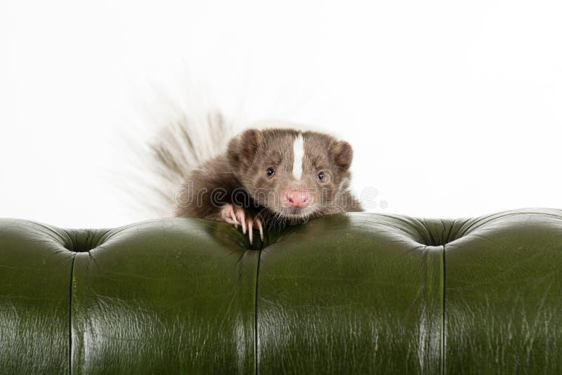 skunk royaltyfri foto