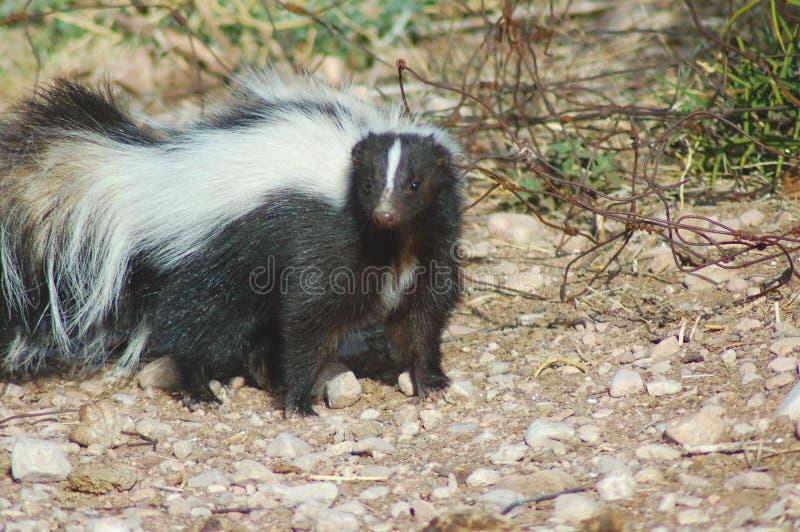 skunk royaltyfria foton