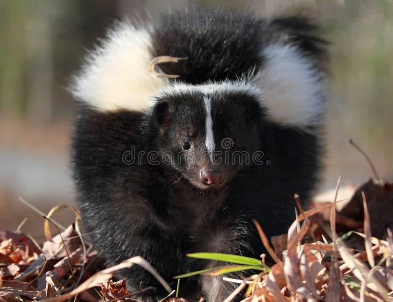 skunk arkivbild