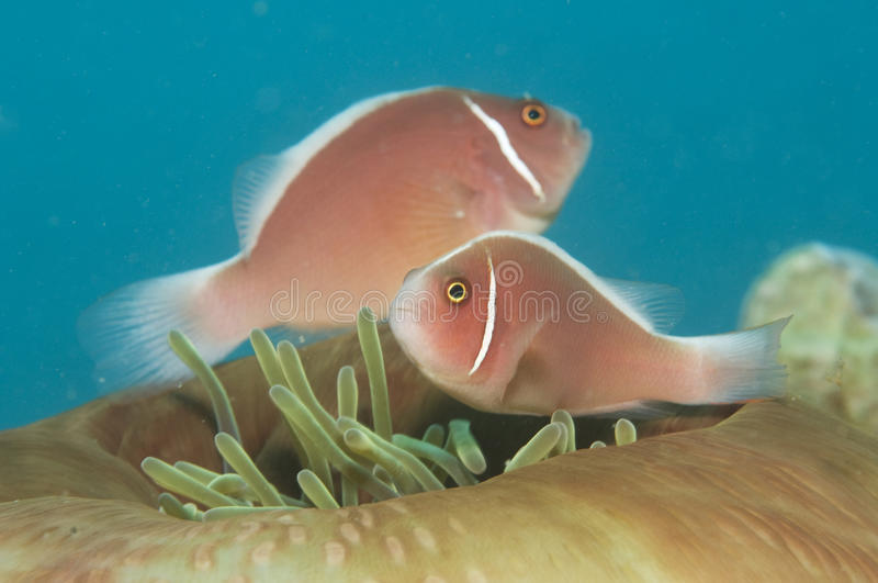 Skunk anemone fish,(Amphiprion perideraion) royalty free stock photo