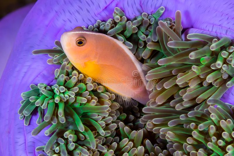 The Skunk Anemonefish, fish stock images
