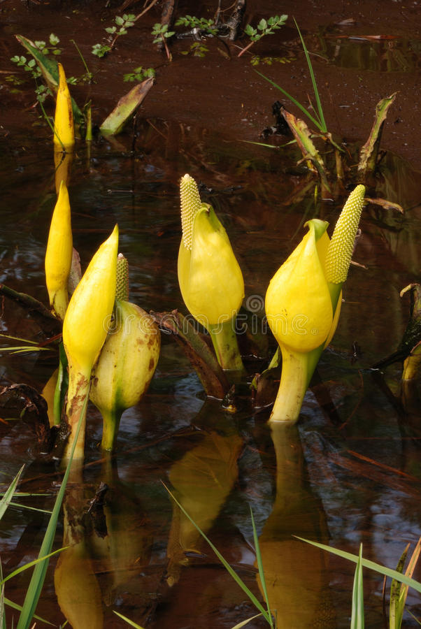 Download Skunk Cabbage stock photo. Image of stink, marsh, forest - 28084278