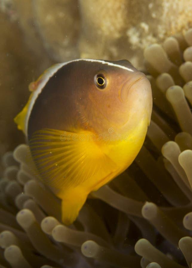 Skunk Clownfish royaltyfria bilder