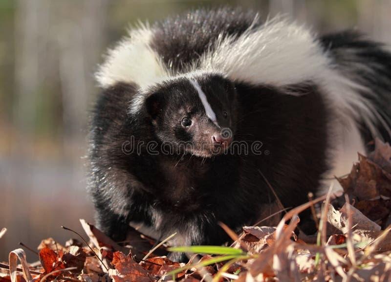 Skunk i natur fotografering för bildbyråer