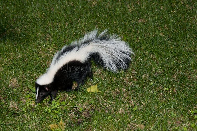 Skunk i trädgård royaltyfri foto