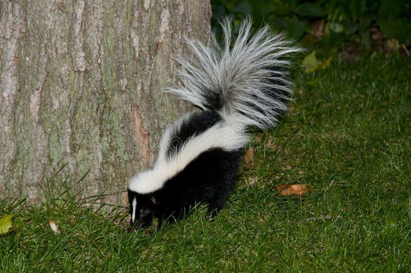 Skunk i trädgård royaltyfri fotografi