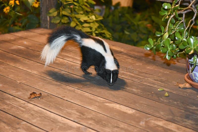 Skunk i trädgårduteplats royaltyfri fotografi