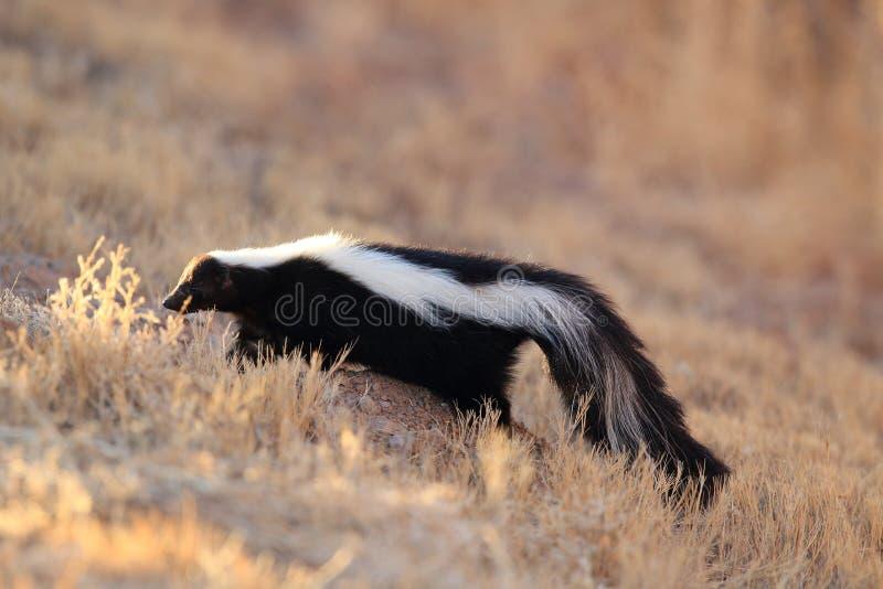 Skunk & x28;Mephitis mephitis& x29; Bosque del Apache Wildlife Reserve, New Mexico,USA. Skunk & x28;Mephitis mephitis& x29; New Mexico, adorable, animal royalty free stock photo
