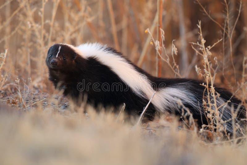 Skunk & x28;Mephitis mephitis& x29; Bosque del Apache Wildlife Reserve, New Mexico,USA. Skunk & x28;Mephitis mephitis& x29; New Mexico, adorable, animal, autumn stock image
