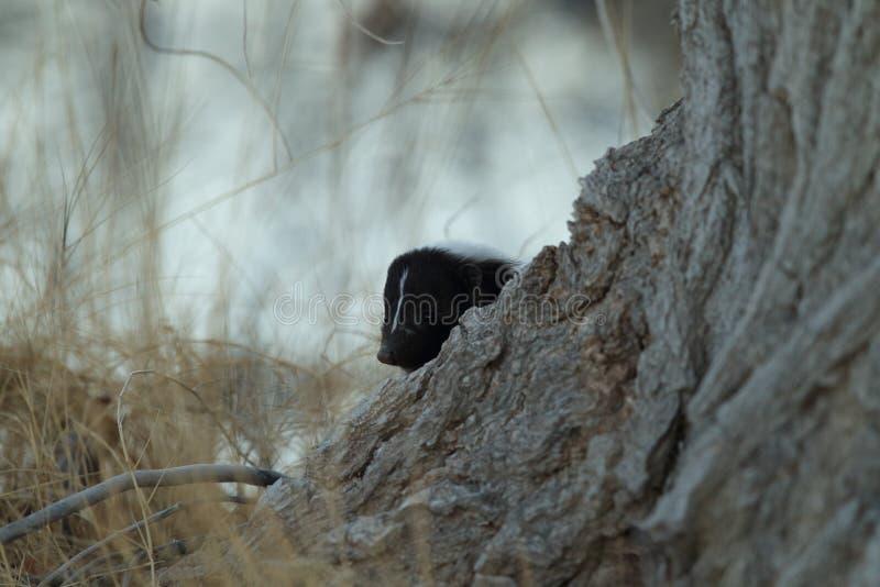 Skunk & x28;Mephitis mephitis& x29; Bosque del Apache Wildlife Reserve, New Mexico,USA. Skunk & x28;Mephitis mephitis& x29; New Mexico, adorable, animal, autumn royalty free stock images