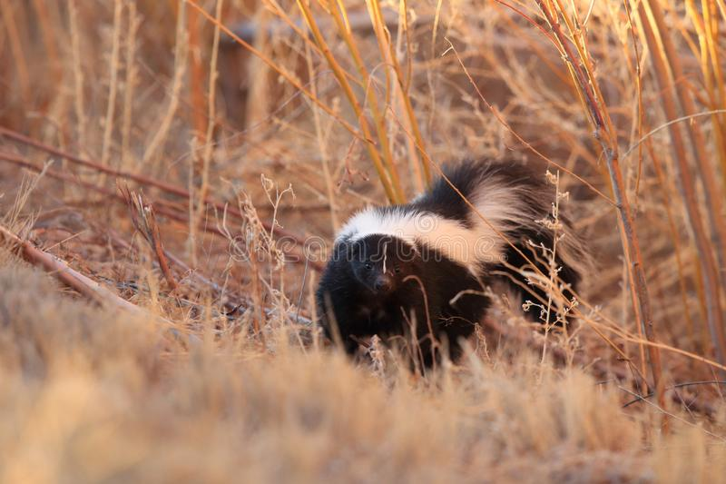 Skunk & x28;Mephitis mephitis& x29; Bosque del Apache Wildlife Reserve, New Mexico,USA. Skunk & x28;Mephitis mephitis& x29; New Mexico, adorable, animal, autumn stock photo