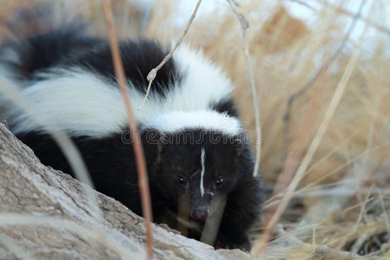 Skunk & x28;Mephitis mephitis& x29; Bosque del Apache Wildlife Reserve, New Mexico,USA. Skunk & x28;Mephitis mephitis& x29; New Mexico, adorable, animal, autumn stock photography
