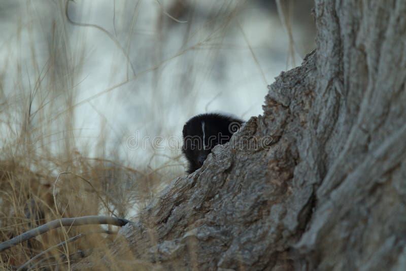 Skunk & x28;Mephitis mephitis& x29; Bosque del Apache Wildlife Reserve, New Mexico,USA. Skunk & x28;Mephitis mephitis& x29; New Mexico, adorable, animal, autumn royalty free stock photos