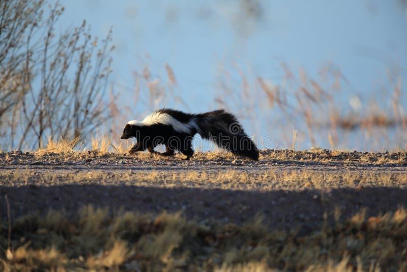 Skunk (Mephitis mephitis) Bosque del Apache Wildlife Reserve, New Mexico,USA. Skunk (Mephitis mephitis) New Mexico stock image