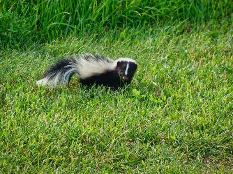 Skunk på gräsmattan arkivbild