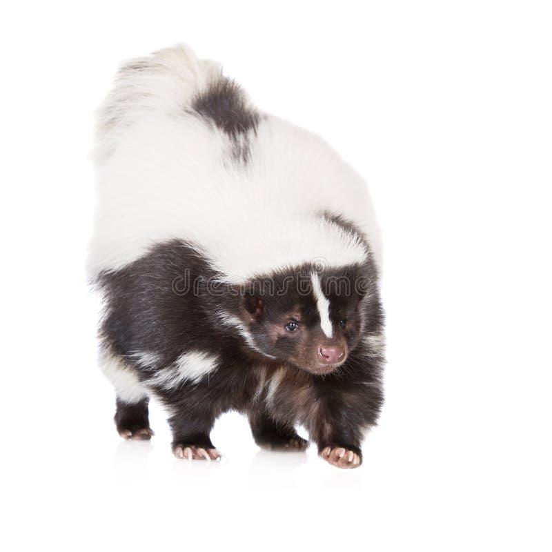 Skunk på vit arkivfoton