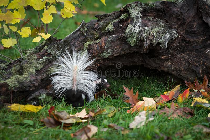 Skunk Spilogale putorius Turns Tail Herbst erhöht stockfotografie