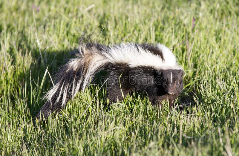 Striped Skunk Mephitis mephitis in alert. royalty free stock photo