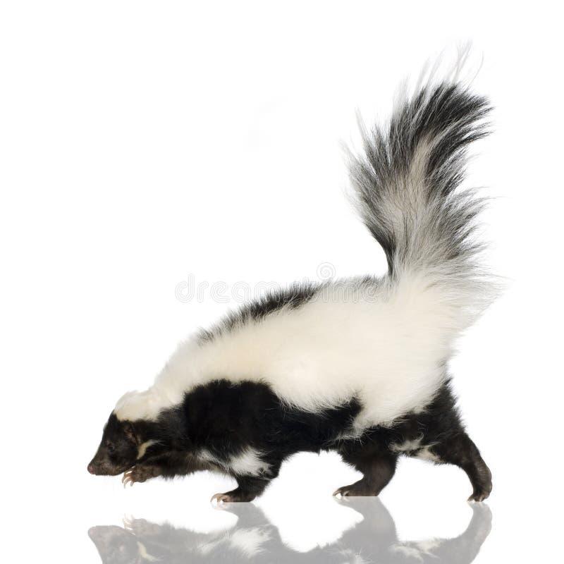 skunks mephitis nosi zdjęcia royalty free