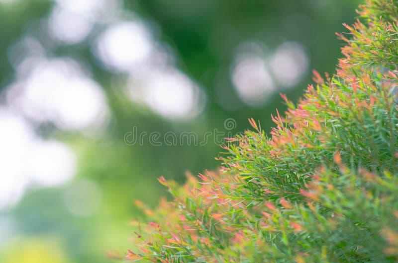Skupia się i zamazana fotografia zielonego i czerwonego koloru Melaleuca linariifolia Miodowi Mirtowi «Claret wierzchołków» liści obraz royalty free