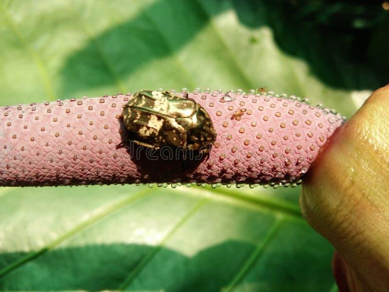 Skupia się miodunkę na kwiacie Anthurium Plowmanii, fala miłość z biedronkami i mrówką zdjęcia stock