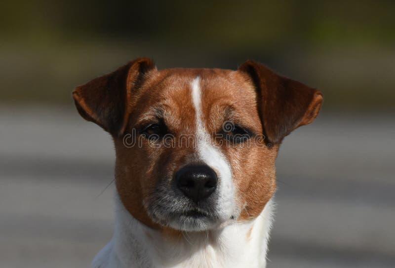 Skupiający się Foxterrier pies obrazy royalty free