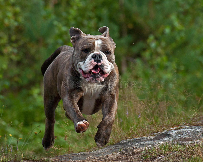 Skupiający się psi bieg fotografia royalty free