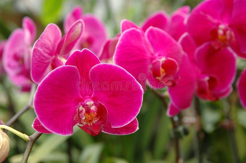 skupisko orchideę różowy zdjęcie royalty free