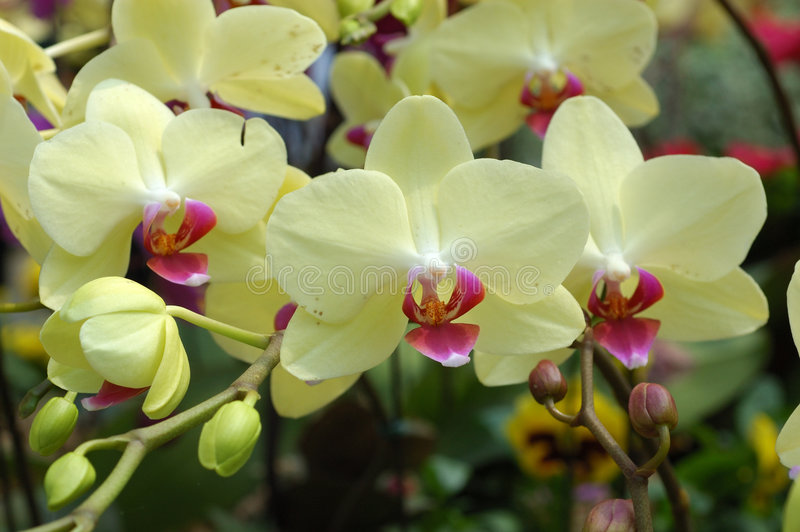 skupisko orchidee żółte fotografia royalty free