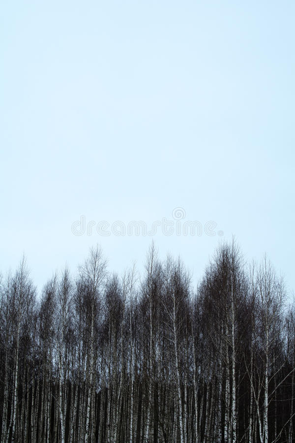 Sky above birches royalty free stock photography