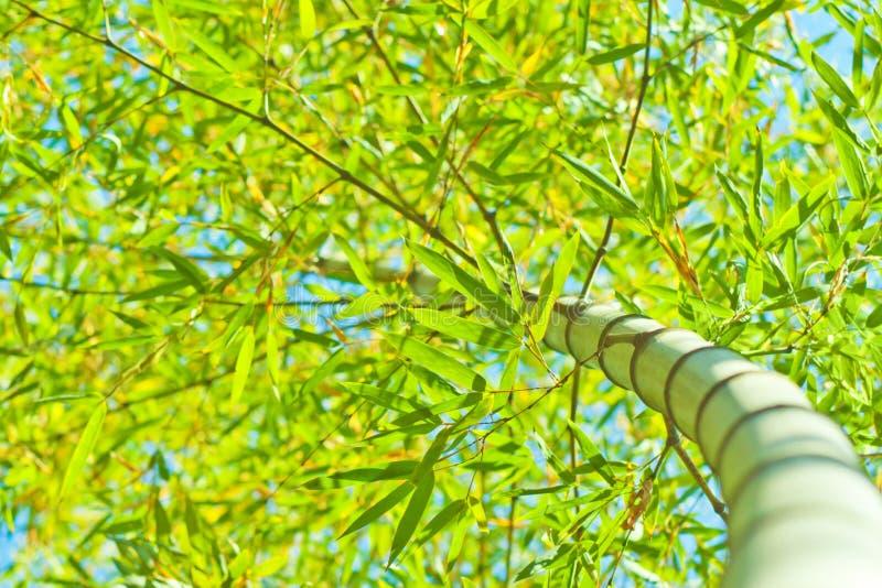 Sky bamboo interloper. Look up the bamboo groves royalty free stock image