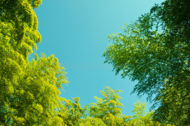 Sky bamboo interloper. Beautiful bamboo forest in southern China stock image