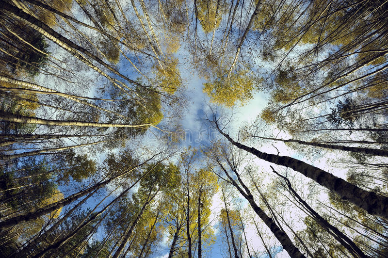 Download Sky in birch forest. stock image. Image of colors, flora - 21431305