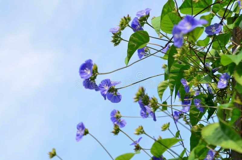 Sky Blue Cluster Vine Royalty Free Stock Photo