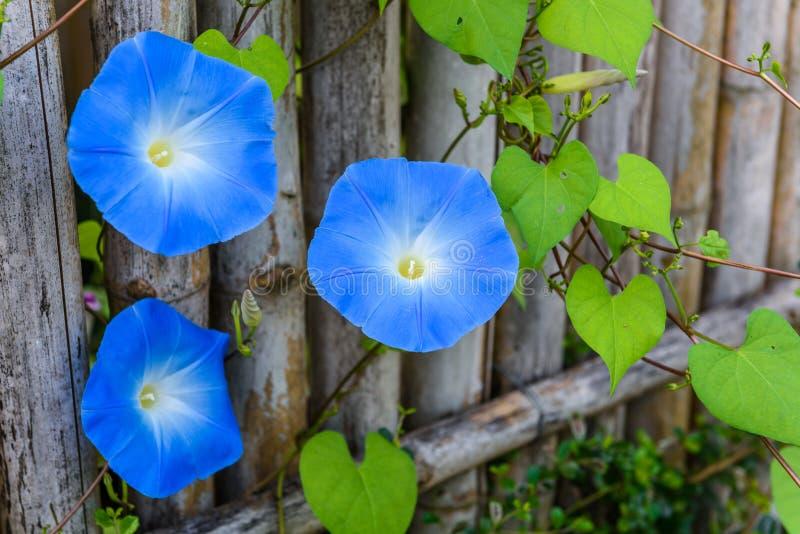 Sky blue, morning glory, Heavenly Blue royalty free stock photo