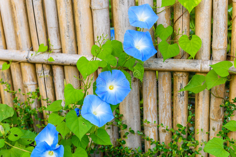 Sky blue, morning glory, Heavenly Blue. Or ipomoea purpurea flower in full bloom and foliage in garden royalty free stock photography
