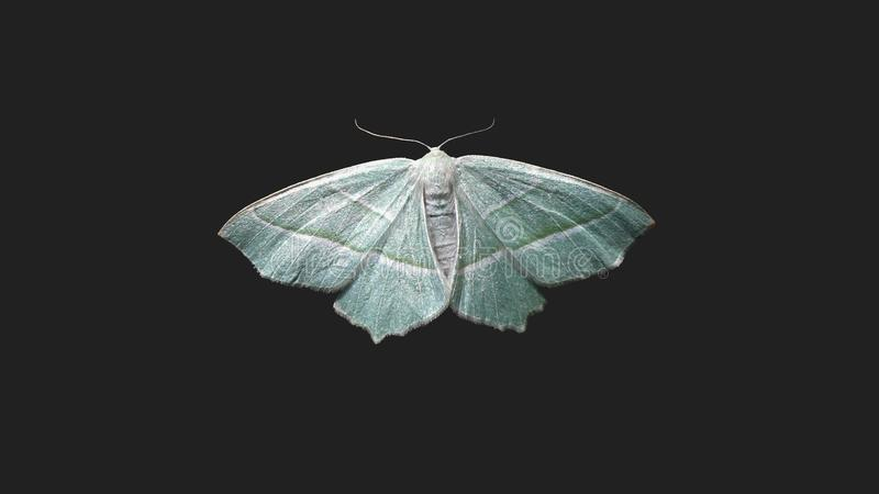 Sky blue moth on black bacground stock photos