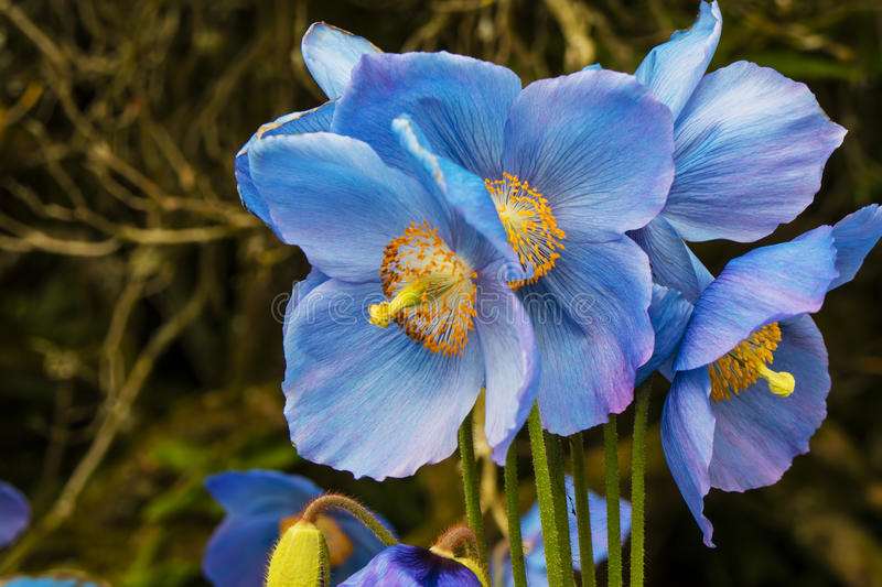 Sky-blue poppies. royalty free stock photo