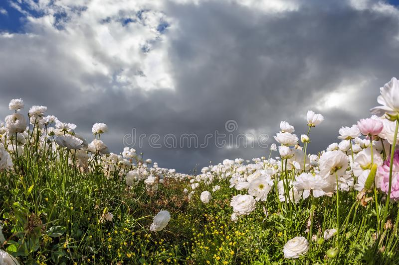 The sky is covered with heavy clouds. The picturesque field of lovely white and pink garden buttercups. The sky is covered with heavy storm clouds. The concept royalty free stock photo