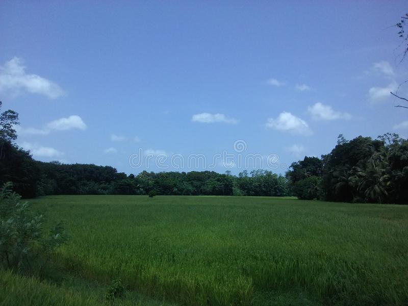 Sky and cultivation in sri lanka. The supper regions blue sky and srilankan rice tree crop royalty free stock photography