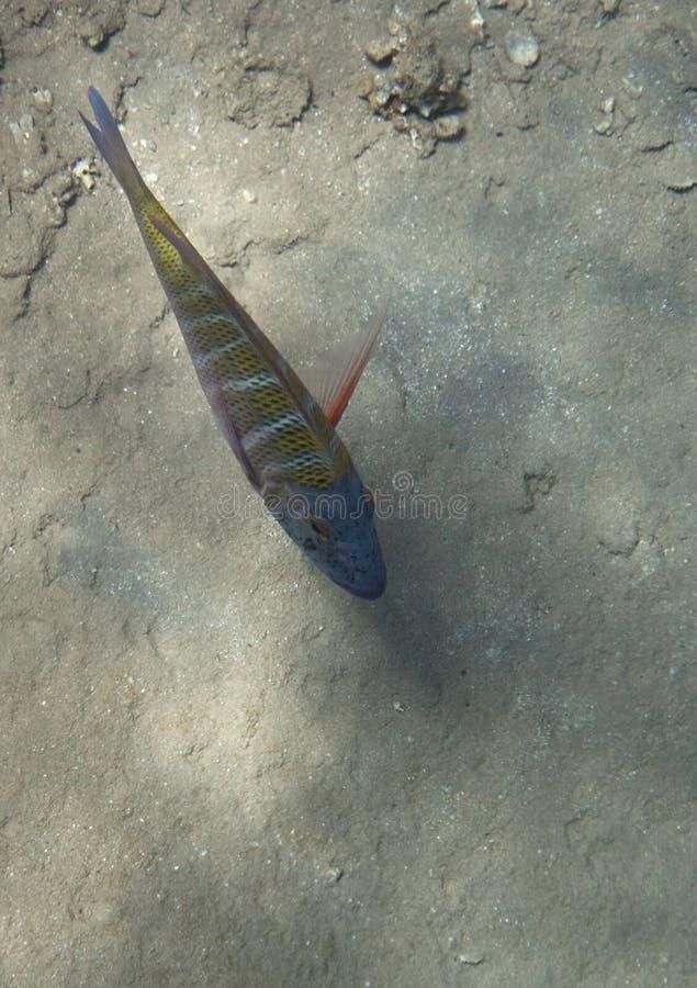 Download Sky emperor stock image. Image of underwater, fish, coral - 14417651