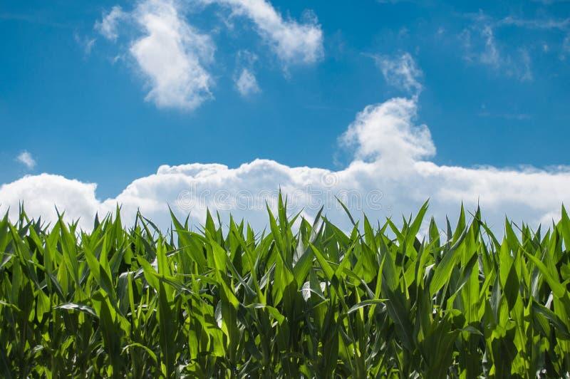 Sky, Field, Crop, Grassland stock image