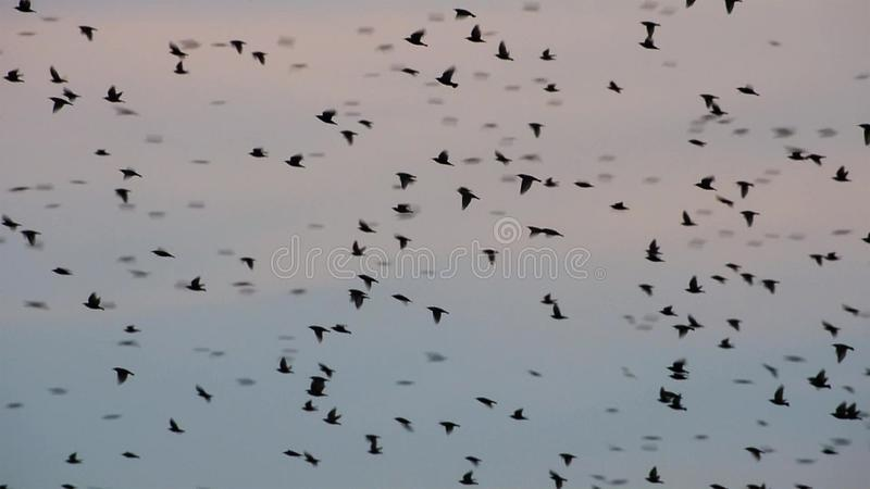 The sky fills with a staggering one million Starlings. December in Rome. Wildlife concept stock photography