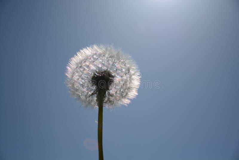 Sky, Flower, Dandelion, Daytime royalty free stock image
