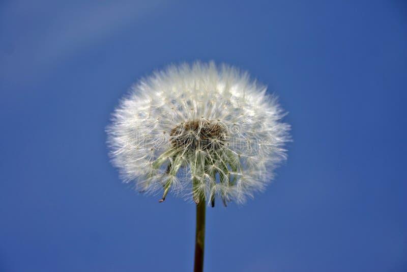Sky, Flower, Dandelion, Daytime royalty free stock photos